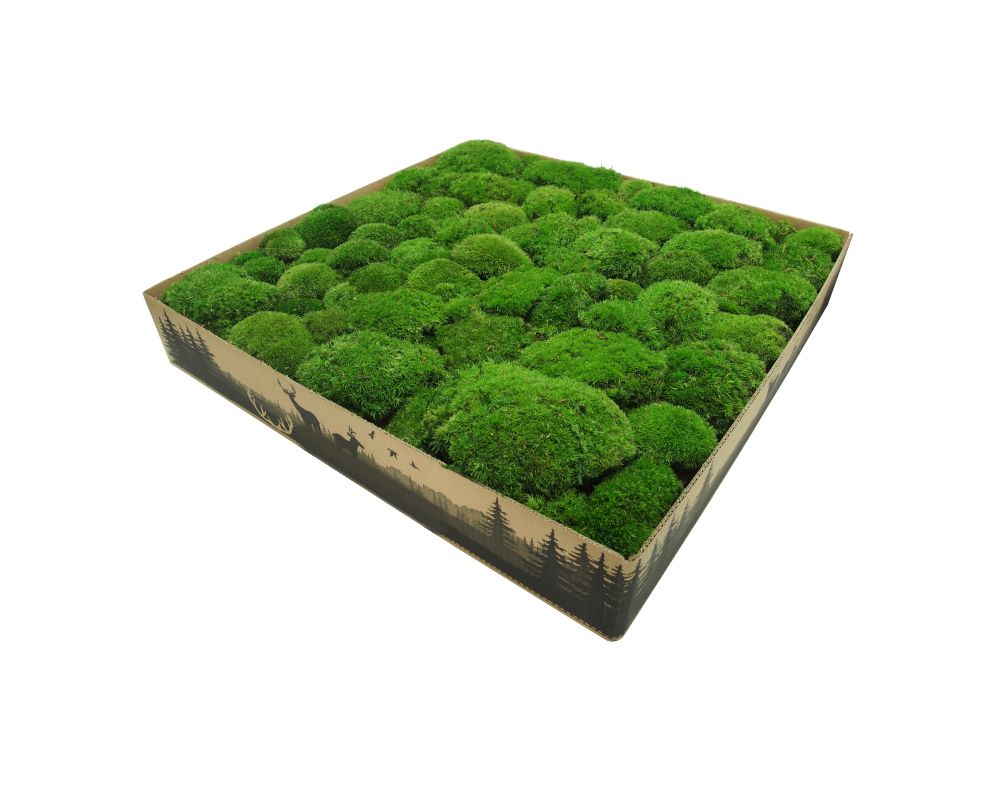Premium Preserved Pillow/ Bun Moss Medium Green XL Wholesale Box